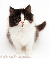 Black-and-white Persian-cross kitten, looking up
