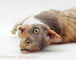 Blue-tortoiseshell Cornish Rex cat