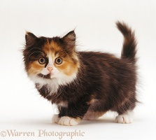Tortoiseshell-and-white Persian-cross kitten