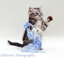 Kitten playing with blue wool