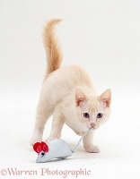 Cream Burmese-cross kitten with blue toy mouse