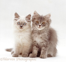 Lilac colourpoint and tabby Persian-cross kittens