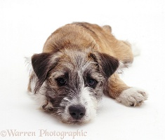 Jack Russell Terrier cross