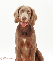 Long-haired Weimaraner dog