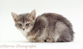 Sick grey kitten with enteritis infection