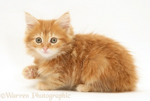 Ginger Maine Coon kitten