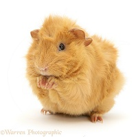 Red Abyssinian Guinea pig