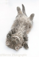 Maine Coon kitten, 8 weeks old, lying on its back