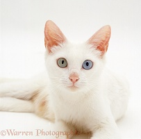 Odd-eyed white Bengal-cross female cat