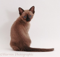Tonkinese kitten, 8 weeks old, looking over its shoulder