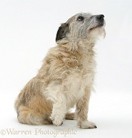 Terrier-cross with a lame paw