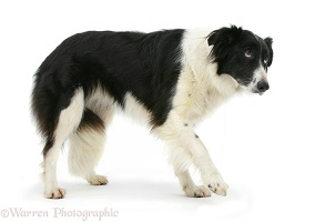 Border Collie with a lame paw