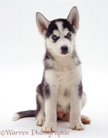 Siberian Husky pup, 6 weeks old, sitting