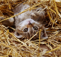 Tabby kitten playing in straw