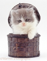 Persian-cross kitten in a small basket