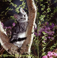 Silver tabby kitten in the fork of a tree