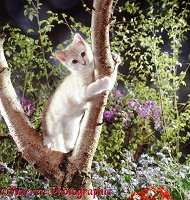 Brown Spotted Bengal kitten climbing a tree