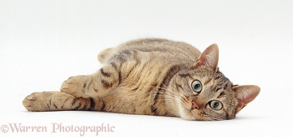 Oestrus tabby female cat lying down