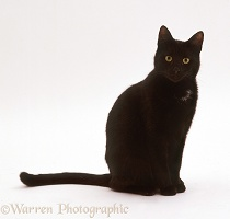 Black Shorthair male cat
