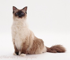 Mitted seal-point Ragdoll male cat