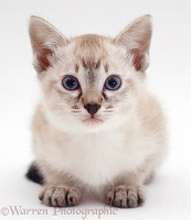 Tabby-point Siamese kitten, crouched and mistrustful