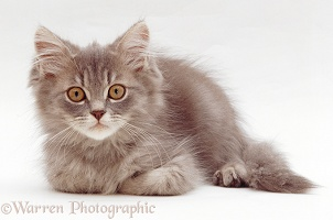 Grey tabby Persian-cross kitten