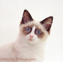 Young bicolour Ragdoll male cat, 18 weeks old