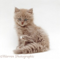 Lilac Birman-cross kitten