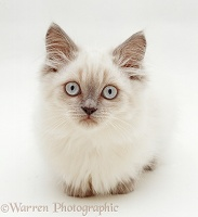 Blue colour-point Birman-cross kitten
