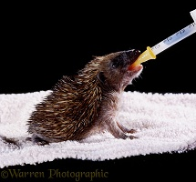 Baby Hedgehog being hand-reared