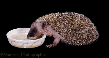 Baby Hedgehog eating cereal