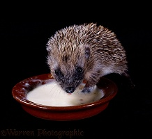 Baby Hedgehog lapping up milk