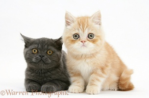 Grey kitten and ginger kitten