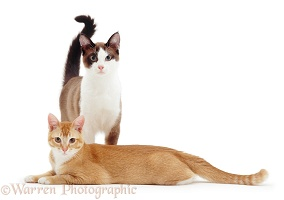 Chocolate-and-white and Ginger cats, 6 months old