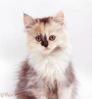 Silver tortoiseshell Persian-cross kitten