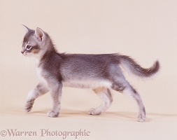 Blue Abyssinian kitten in looking proud