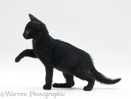 Black kitten, 6 weeks old
