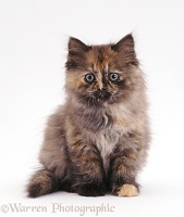 Fluffy tortoiseshell Ragdoll-cross kitten, 8 weeks old