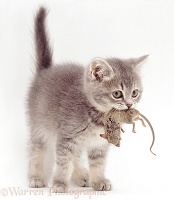 Grey kitten, 10 weeks old, with mouse prey