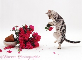 Silver tabby cat destroying an Azalea pot plant