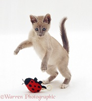 Lilac Tonkinese kitten pouncing string-pull ladybird toy