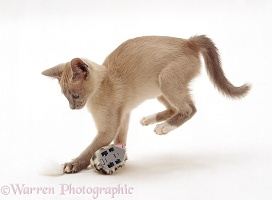 Lilac Tonkinese kitten pouncing a clockwork toy