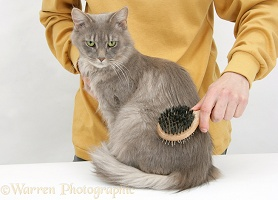 Grooming a Maine Coon female cat