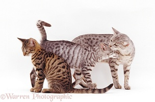 Silver Egyptian Mau female cat and kittens