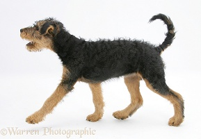 Airedale Terrier bitch pup walking across