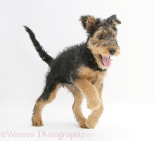 Airedale Terrier bitch pup walking forward
