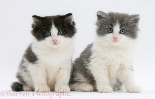 Black-and-white and grey-and-white kittens