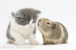 Grey-and-white kitten with a Guinea pig