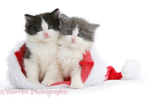 Black-and-white and grey-and-white kittens in Santa hat