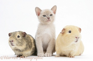 Burmese kitten, 7 weeks old, and two guinea pigs